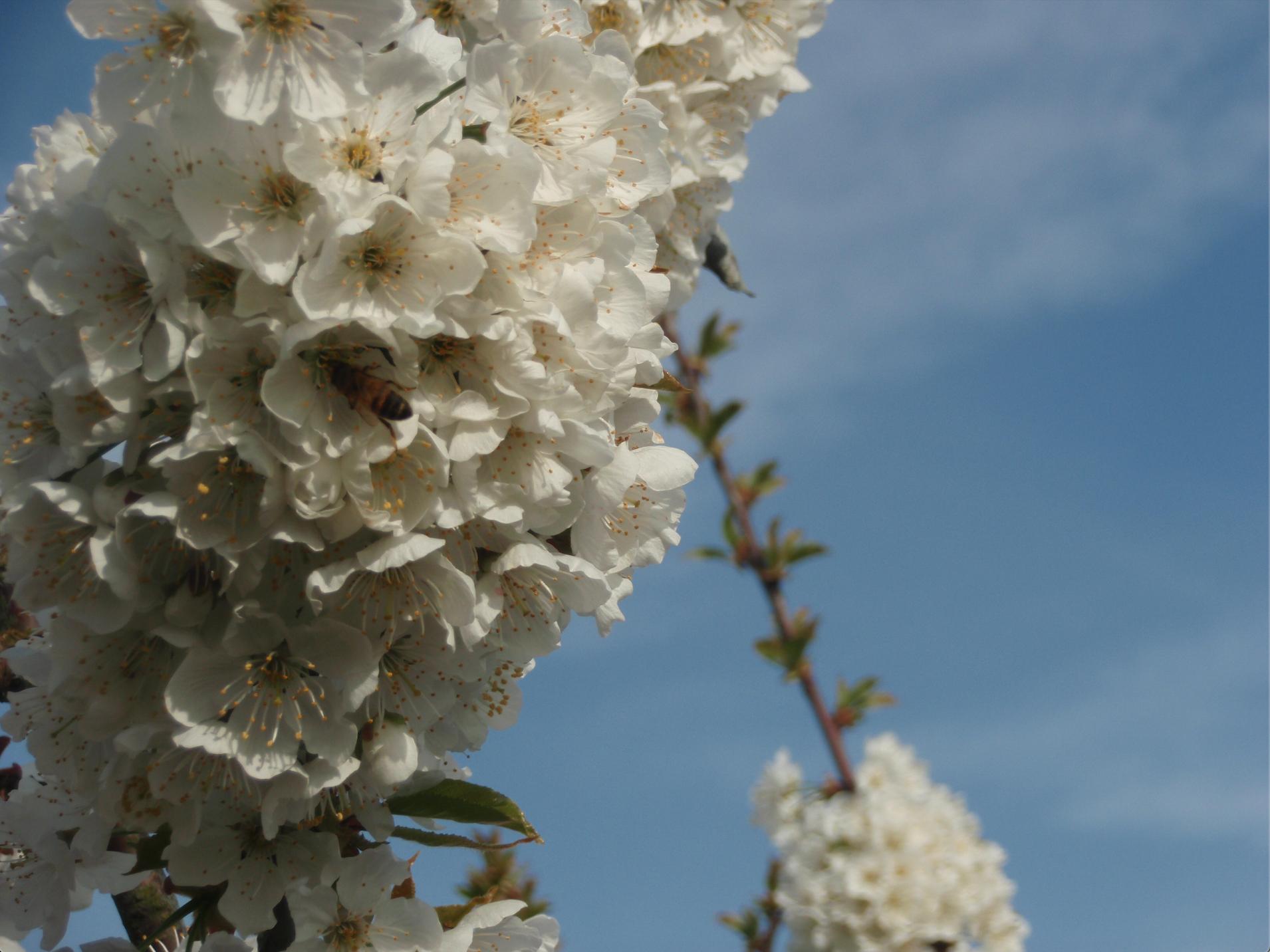 cerisiers - abeilles - bleu - ciel - arbre - lafermedelaclavette