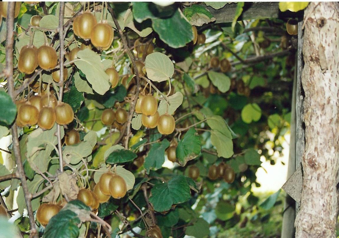 Kiwis - fruits - arbre - lafermedelaclavette